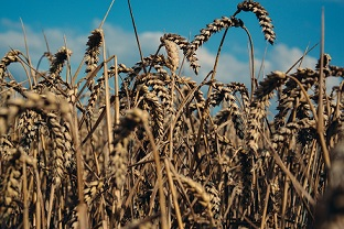 sky-corn-grain-7694-large.jpg
