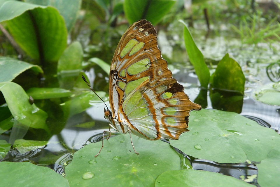 malachite-butterfly-377927_960_720