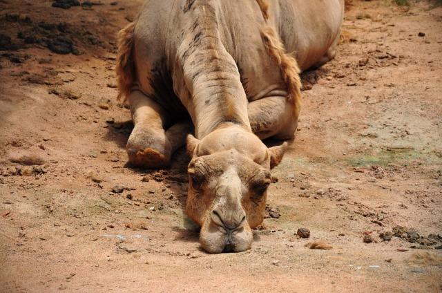camel-993822_960_720
