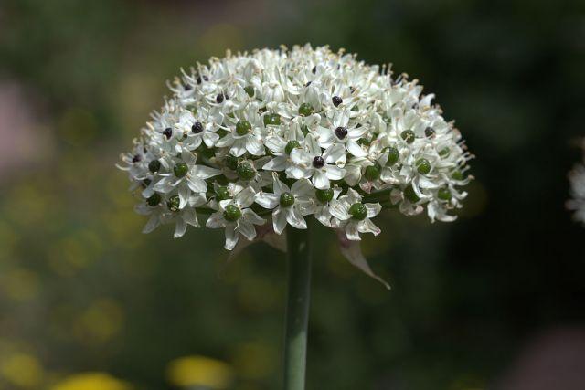 Allium_nigrum_